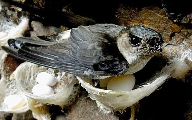 Chim yến đang bị đặt trong tình trạng cầu cứu vì hành vi đánh bắt, giết thịt