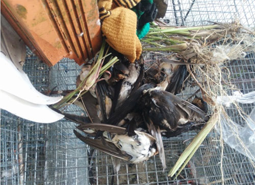 Nhiều chim yến bị bắt, có con chết trong quá trình nuôi nhốt.